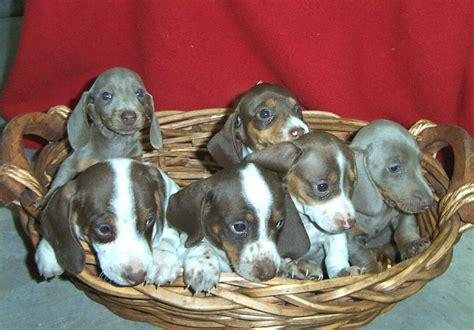 piebald dachshund puppies dapple piebald dachshund puppies picture
