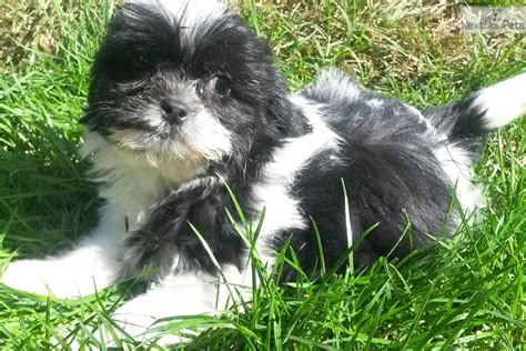 shih tzu breeders maryland maryland shih tzu puppies for sale