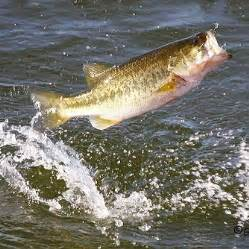 freshwater fish freshwater fishing images amp pictures becuo