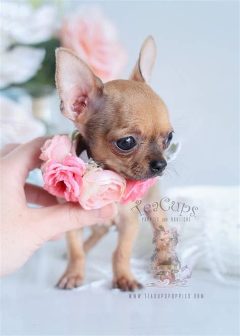 chihuahua puppies for sale in teacup chihuahuas and chihuahua puppies for sale by teacups puppies boutique