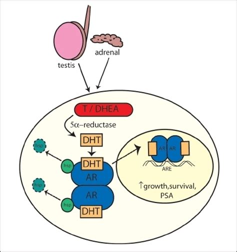 5 ar dht intracellular metabolism of androgens ar androgen re