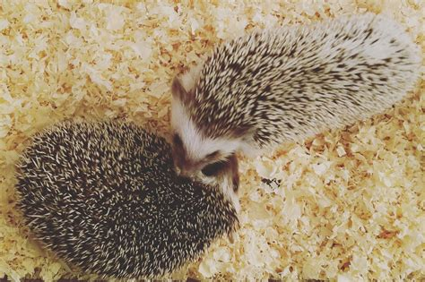 hedgehog bedding hedgehog bedding options best bedding for hedgehogs