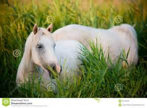 white horses eating grass royalty free stock photo image 25734215