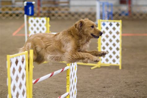 golden retriever jumping archivo golden retriever agility jump jpg la enciclopedia libre