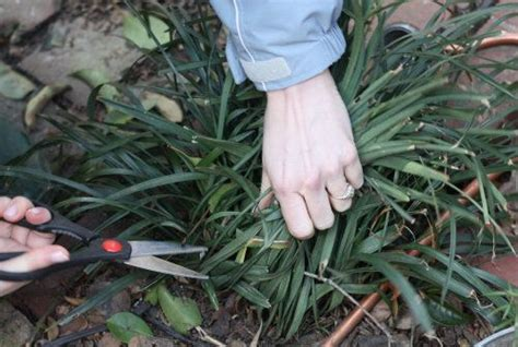 how to kill grass in flower beds this is time to cut your liriope or monkey grass all the