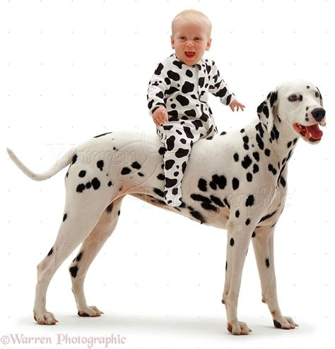 baby dalmatian puppies 50 dalmatian puppy pictures and photos