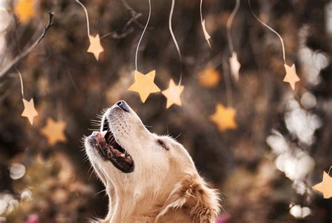 golden retriever photography golden retriever ch probably the happiest in the world bored panda