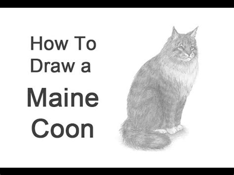 how to a coon how to draw a maine coon cat or forest cat