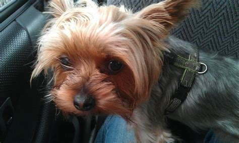 yorkie rescue sa 51 the friendly and affectionate yorkie already adopted sa yorkie