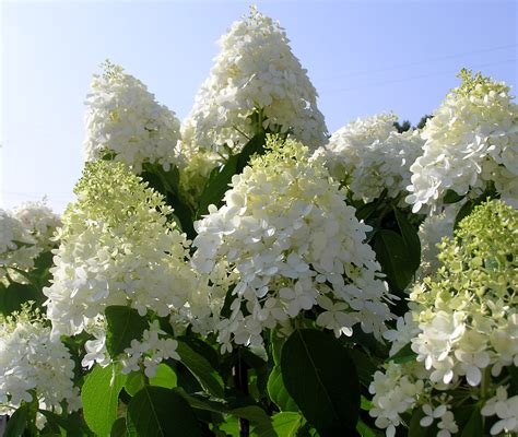 hydrangea trees put on a show knecht s nurseries landscaping