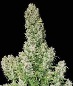 plantar marihuana en interior c 243 mo plantar marihuana paso a paso
