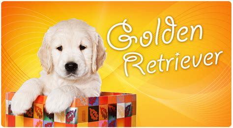 golden retriever puppies miami golden retriever puppies for sale in miami golden retriever golden retriever