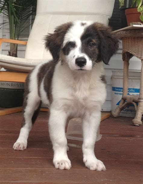 st bernard australian shepherd mix puppies for sale bernard australian shepherd mix mixed