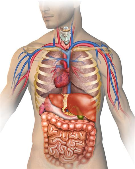 posizione organi interni corpo umano il situs inversus totalis quando gli organi di torace e