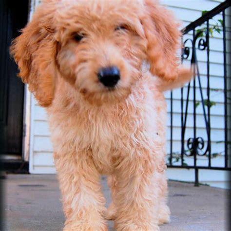 goldendoodle puppy hypoallergenic goldendoodle puppy hypoallergenic and non shedding