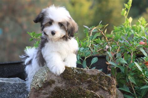 black and white havanese puppies for sale havanese puppy pictures havanese breeders pictures havanese puppies in
