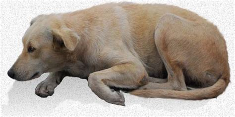 what is distemper in dogs your s health what you need to about distemper in dogs urdogs