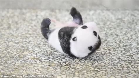 Humidifier Belli To Baby Panda melting shows adorable panda cub struggle to roll in china daily mail