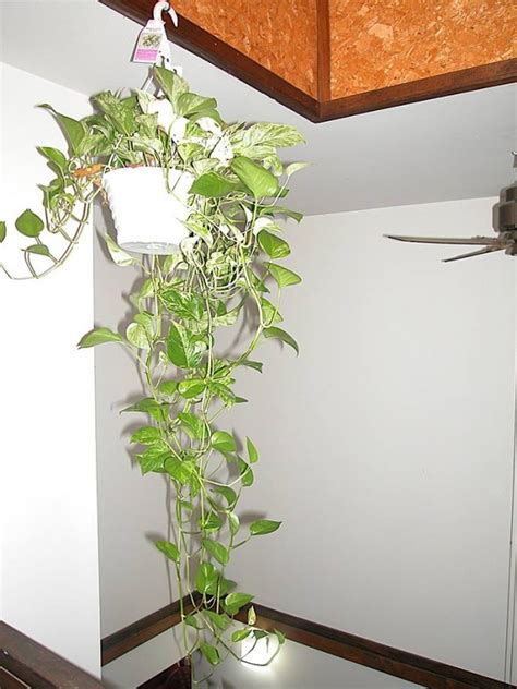 money plant in bedroom indoor plants that purify air in living spaces