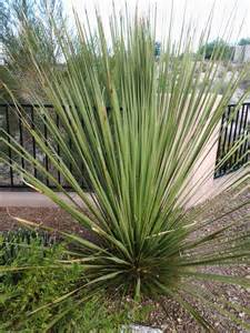 different types of yucca plants www imgkid com the image kid has it