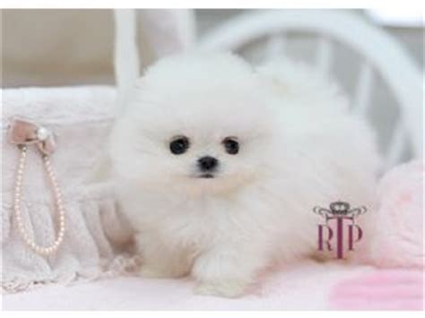 teacup pomeranian price range pomeranian puppies for sale precious micro teacup tiny pomeranian for sale
