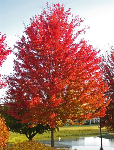 are maple trees acer saccharinum silver maple tree in fall colors newar flickr