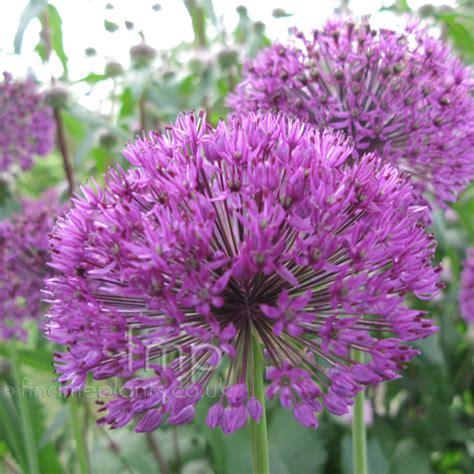 plant pictures allium hollandicum purple sensation
