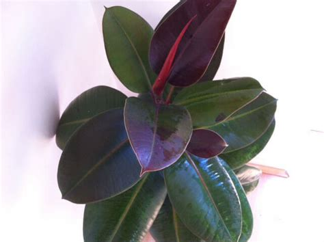 rubber fig ficus elastica rubber plant our house plants