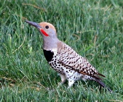 northern flicker identification all about birds