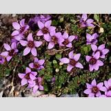 Purple Saxifrage | 1067 x 800 jpeg 211kB