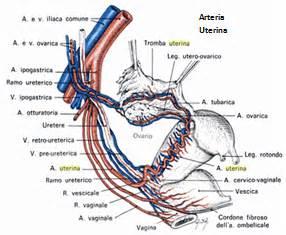 lacuna dei vasi anatomia dell apparato circolatorio 5 pelvi anatomia