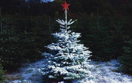 christmas 2009 british grown trees telegraph