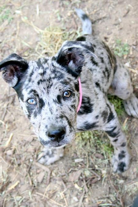 catahoula leopard mix catahoula leopard lola the catahoula leopard mix puppies daily puppy