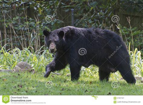 bear in backyard mama black bear in the yard stock photo image 57831167