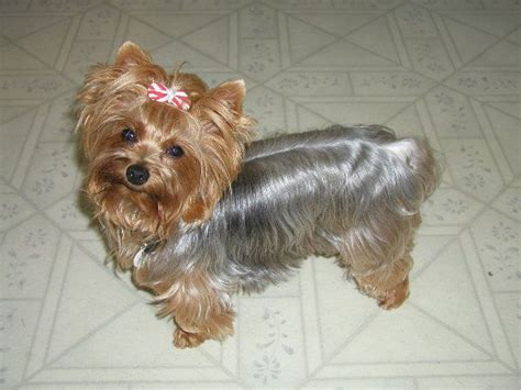 silver yorkies with long hair 10 best images about yorkie cuts on pinterest puppys