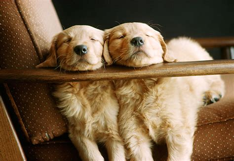 golden retriever puppies sleeping gallery for gt sleeping golden retriever puppy