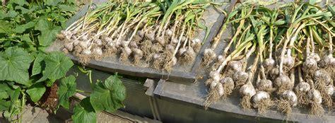 knoblauch pflanzen und ernten 4635 knoblauch pflanzen schmiddies gartenblog