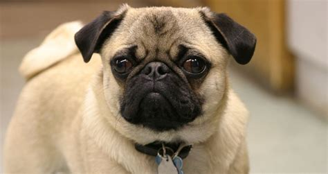how much to feed pug puppy feeding tips for your pug pets world