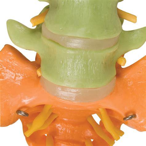 Lumbar 84 columna did 225 ctica flexible con cabezas de f 233 mur 1000129