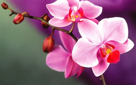 orchid flowers orchid flowers wallpaper 35255212 fanpop
