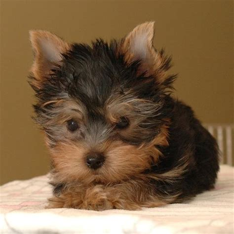 how to breed yorkies breed yorkie puppy jpg