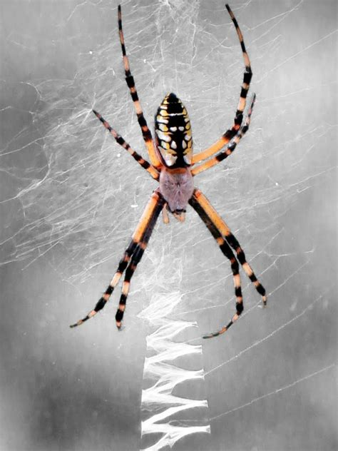 spiders with zig zag pattern on web panoramio photo of zig zag web and spider creepy