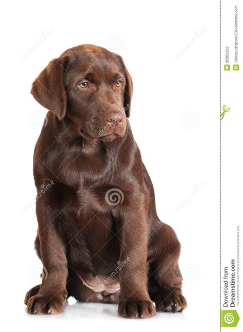 chocolate retriever puppy chocolate labrador retriever puppy stock photo image of playful domestic 35305266