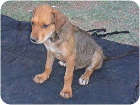 shiba rottweiler mix puppies 2 adopted anton tx rottweiler shiba inu mix