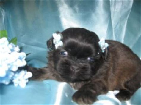 puppies for sale in tri cities tn miniature shih tzu for sale in nc
