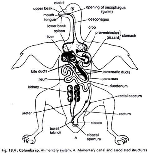 bird anatomy diagram bird free engine image for user manual