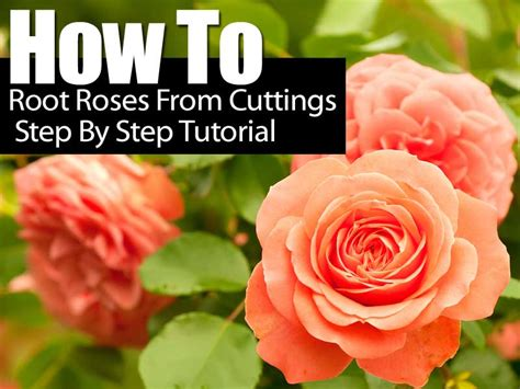 How To Take Care Of Roses In A Vase by How To Root Roses From Cuttings Step By Step Tutorial