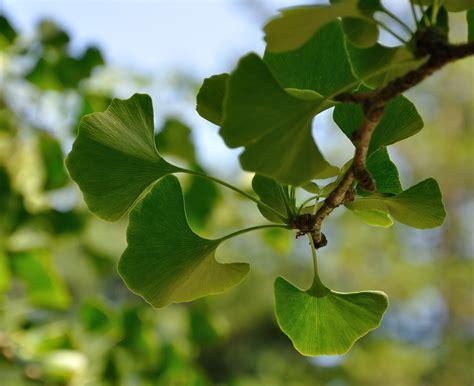 ginkgo biloba maidenhair tree sjg bloom