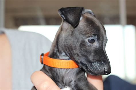 italian greyhound puppies for sale stunning italian greyhound puppy for sale corby northtonshire pets4homes