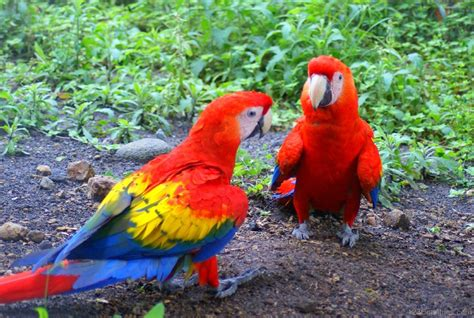 national bird of brazil macaw 123countries com